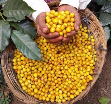 yellow caturra